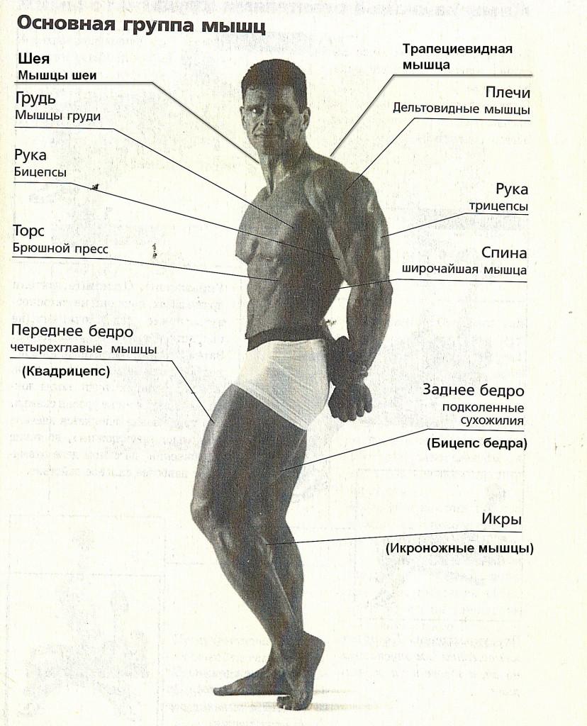 Основные группы мышц