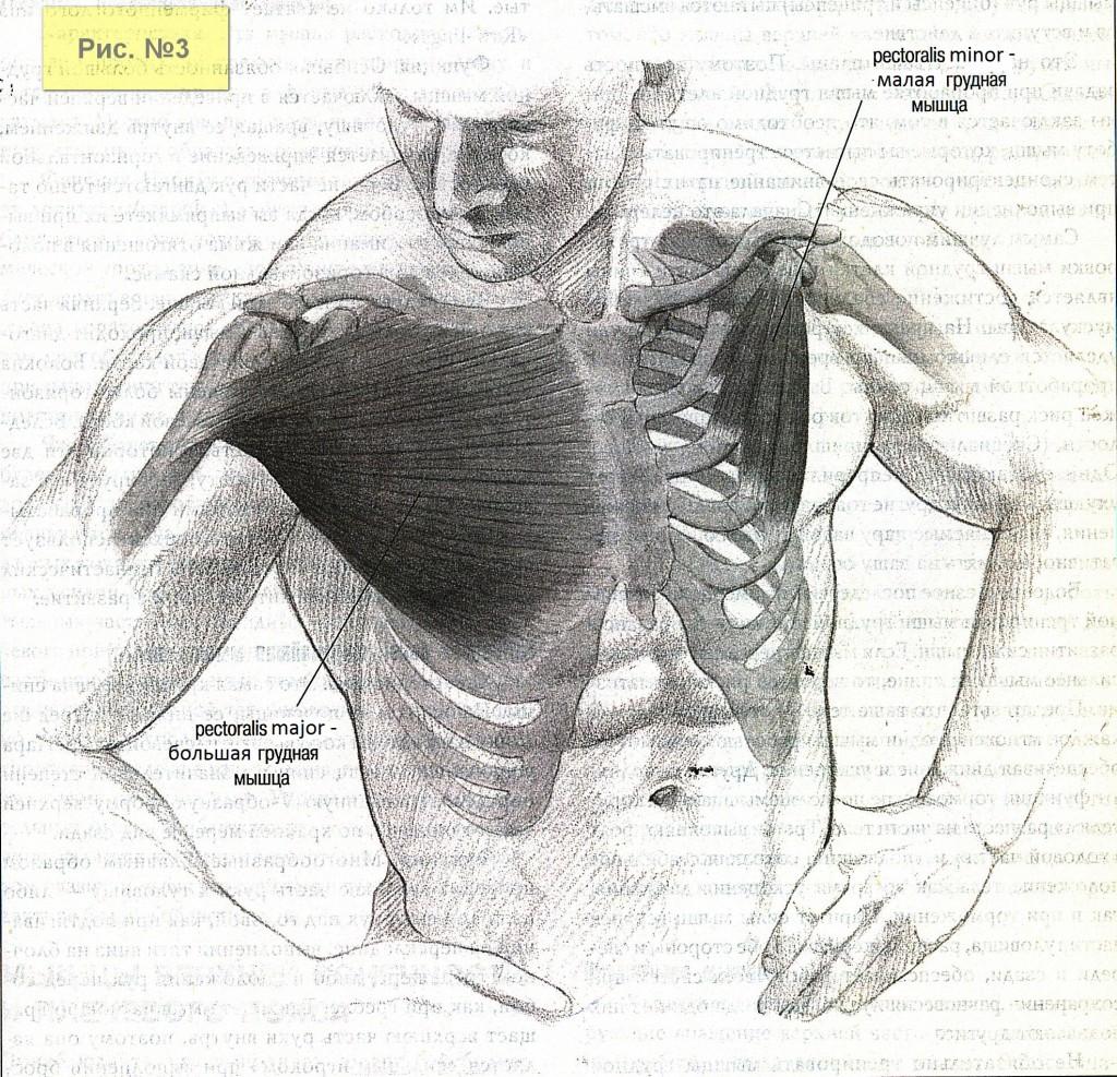 Грудные мышцы-2а