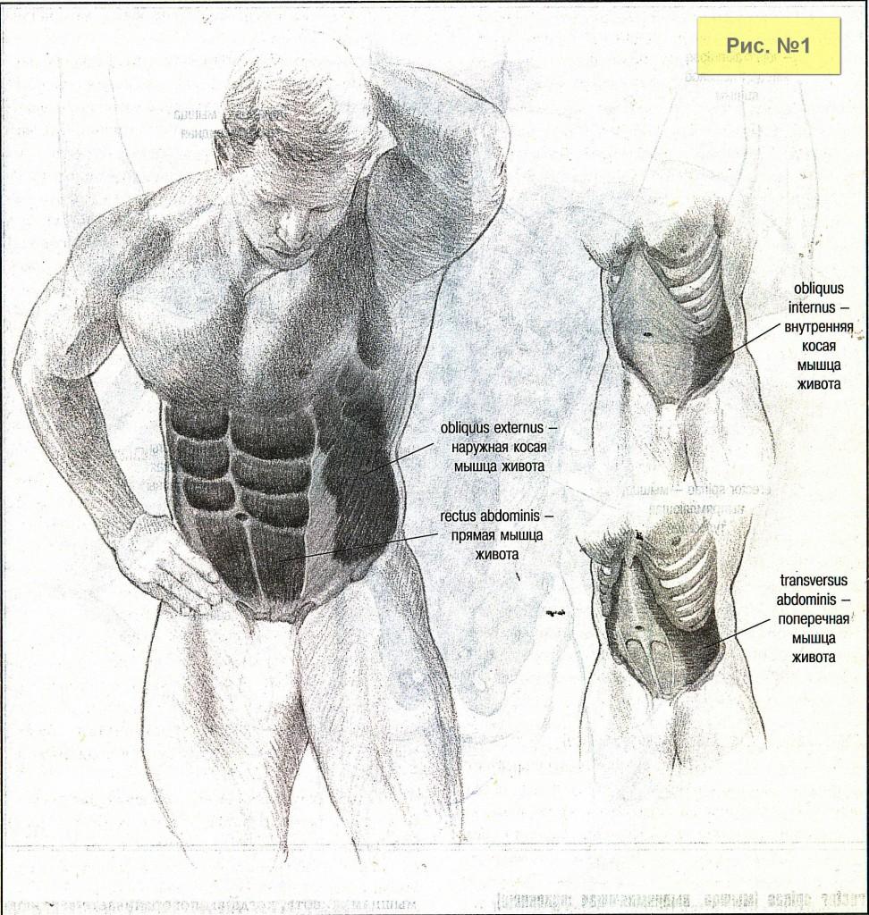 Мышцы живота-2