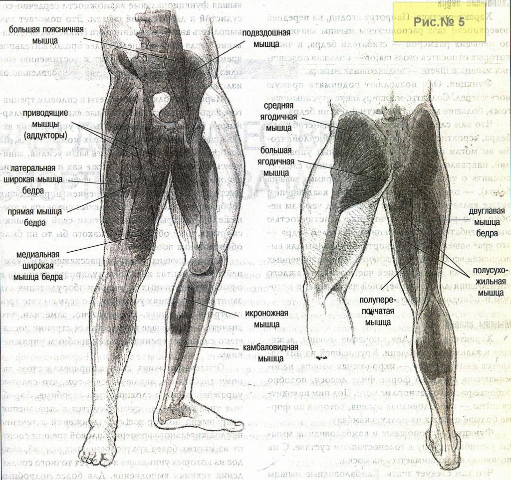 Мышцы ног-2