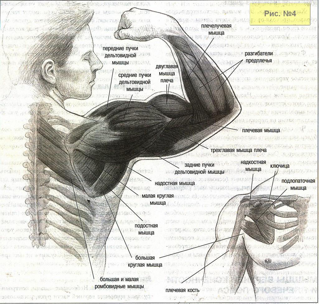Мышцы рук-2
