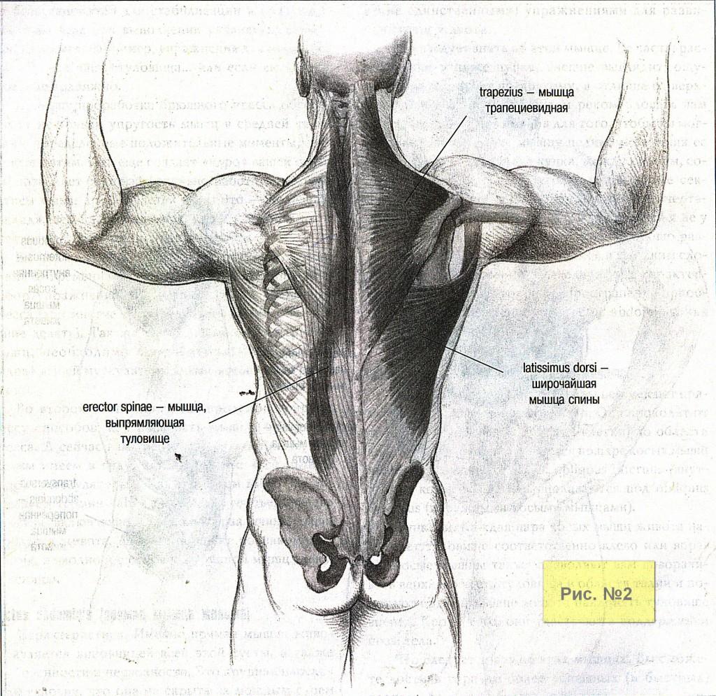 Мышцы спины-2
